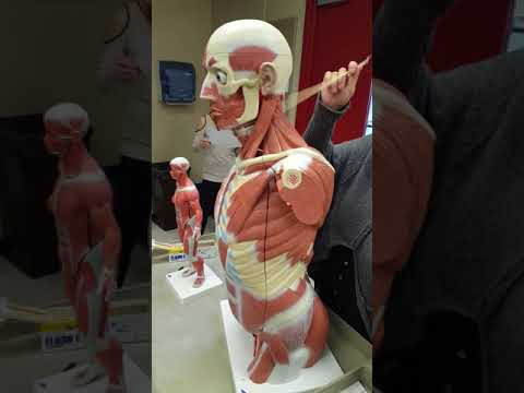 Lab Practical Muscles Video #1