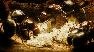 Queen Ants Forge an Empire | Empire Of The Desert Ants | BBC Earth