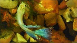 Betta Fish Exploring New Tank