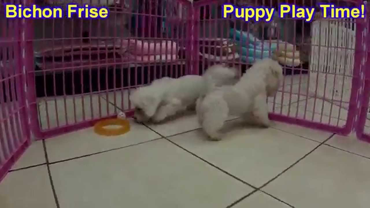 Bichon Frise Puppies Dogs For Sale In Birmingham Alabama Al