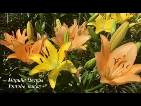 ЛИЛИЯ ВОСТОЧНАЯ. ГИБРИДЫ ОТ. Выращивание, уход, посадка, полив, болезни, цветение.