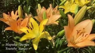 ЛИЛИЯ ВОСТОЧНАЯ . ГИБРИДЫ ОТ. Выращивание, уход, посадка, полив, болезни, цветение.(ЛИЛИЯ ВОСТОЧНАЯ . ГИБРИДЫ ОТ. Выращивание, уход, посадка, полив, болезни, цветение. Как выростить здоровые..., 2016-07-10T05:00:00.000Z)