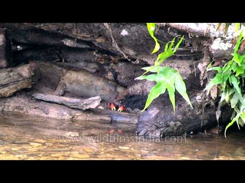 Andamanese crab sits in a creek