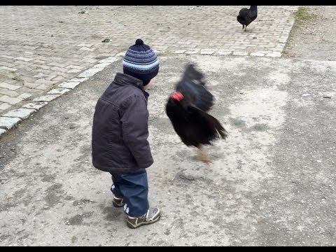 Kid Gets Chased By Turkeys