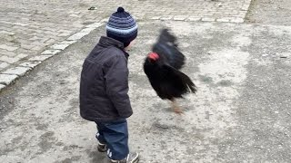 Little Child Attacked by Angry Birds / Chicken.