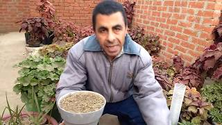 زراعة بذور القرنفل ... Cultivation of cloves seeds