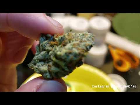 Opening Lemon OG Kush 29.3% THC From Trulieve - Florida Medical Marijuana Strain Review