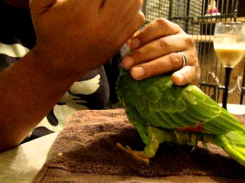 Pee Wee Red Headed Amazon Parrot Hand Feeding