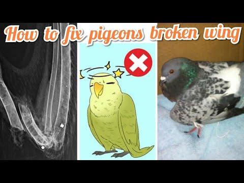புறாவின் உடைந்த இறக்கையை எவ்வாறு சரிசெய்வது /How To Fix Pigeons Broken Wing / Tamil