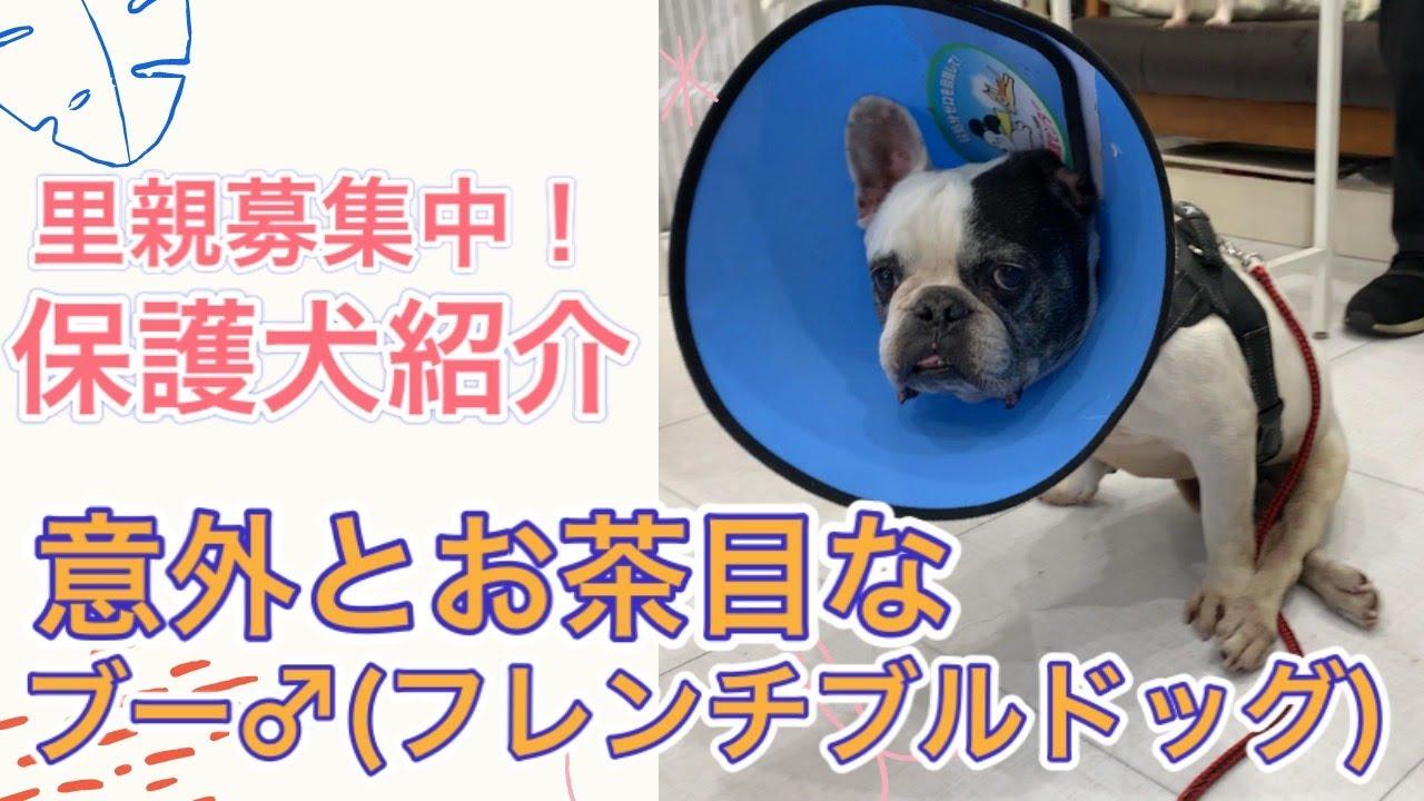 犬 ブルドッグ 保護 フレンチ