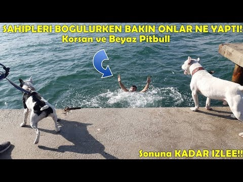 Deniz'de Sahibinin Boğulduğunu Gören Pitbull Cinsi Köpeklerin Tepkisi Bakın Ne Oldu !!!