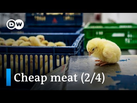 The high cost of cheap meat: Male chicks shredded (2/4) | DW News