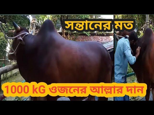 """কুরবানীতে বিক্রির অপেক্ষায় সন্তানসম ১০০০ কেজি ওজনের """"আল্লার দান""""।"""