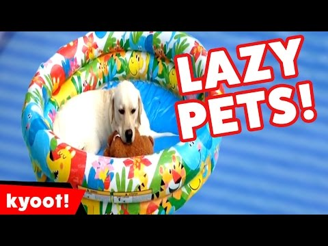 Funniest Laziest Pet Videos of 2016 Weekly Compilation | Kyoot Animals