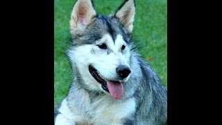 ***Alaskan Malamute Puppy Potty-Training Free-Mini Course***
