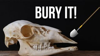 HOW TO CLEAN A SKULL (EASY BURYING METHOD)