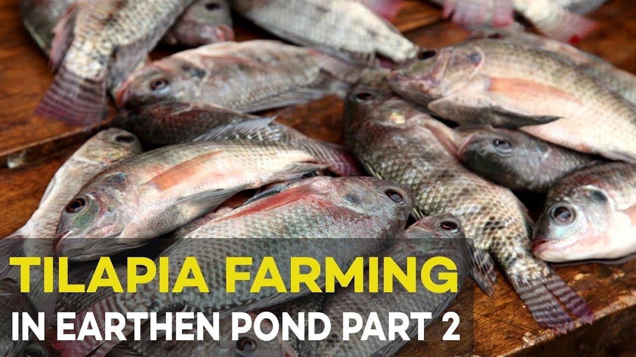 tilapia farming in earthen pond 2017 part 2 tilapia feeding