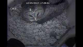 Barred Owl Visits Nest Box  Dec 25 2014