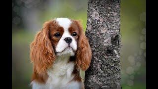 29 апреля 2018 г. выставка собак г. Липецк -  KISS ROTTI KINGDOM