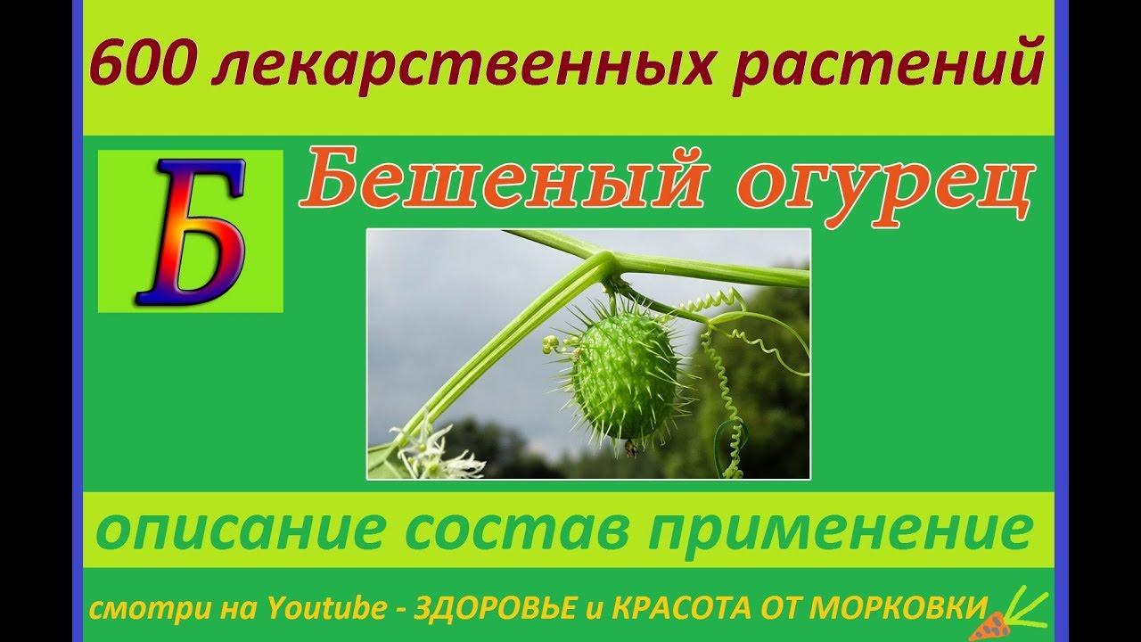 бешеный огурец 600 лекарственных растений