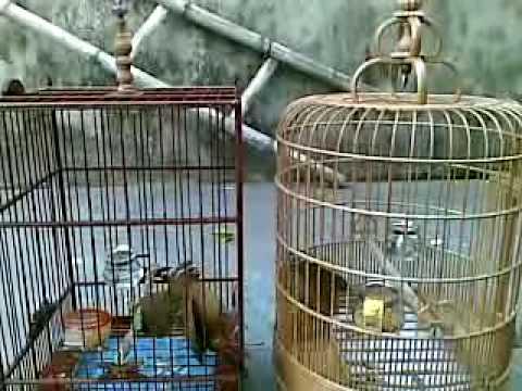 chim nha da nhau.mp4