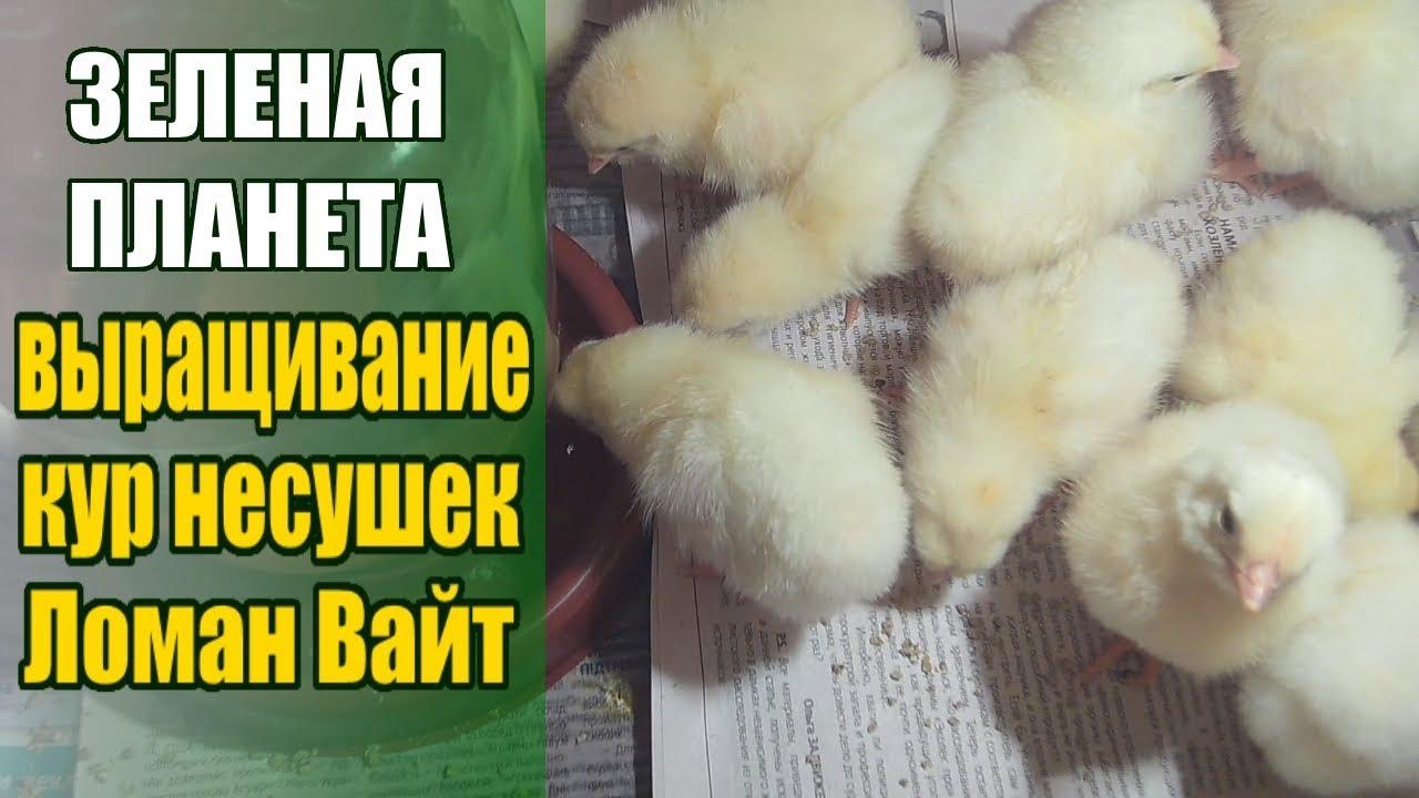 Выращивание кур / Ломан Вайт куры несушки / Как пропаивать птицу