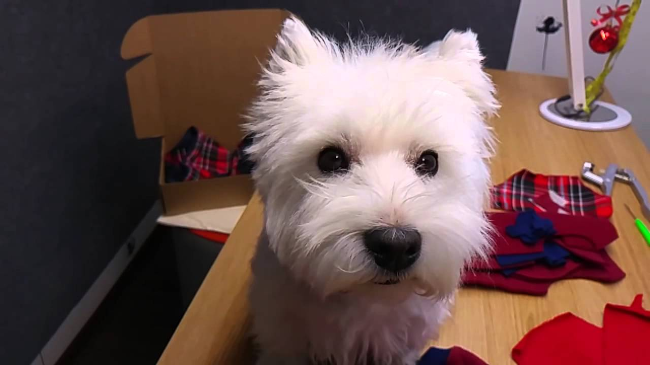 westie after hair cut, doggie angel style:) - youtube
