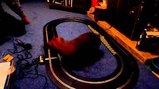 Funny Video Of Dachshund Dog Chasing Scalextric
