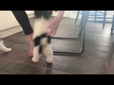 Wire Fox Terrier Playtime