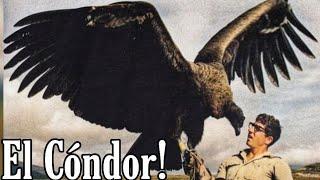 El Cóndor Gigante 😱 majestuosidad y grandeza 🦅💕