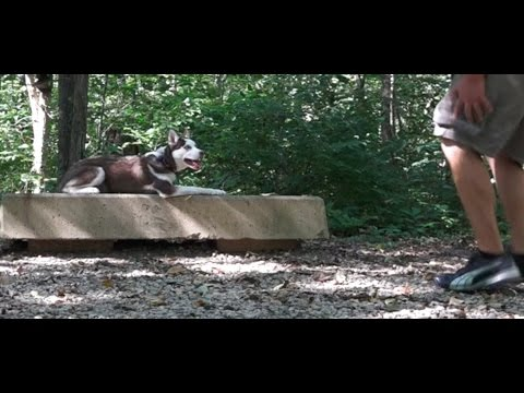 Dog Training: 5 Month Old Siberian Husky, Ruby! Before/After 2 Week Board and Train!
