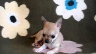 Купить щенка чихуа-хуа, рыжий. Мини. РКФ. 8-905-546-66-92