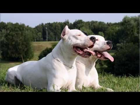 Raza de perros, Dogo Argentino, Argentine Mastiff