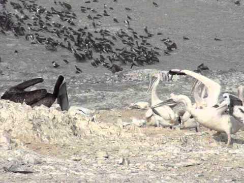 Pelícano peruano alimentando a sus pichones