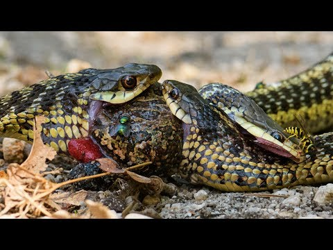 Three Garter Snakes Fighting over a Dead Toad