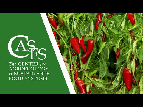 Organic Pepper Production: Soil Preparation to Harvest