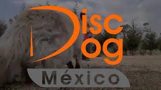 Disc Dog Mexico Border Collie