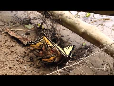 Tiger Swallowtails Feed On Dead Fish