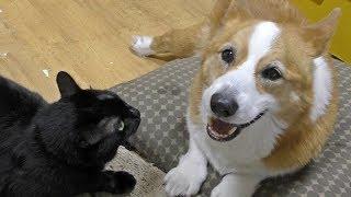 クロさんはロクさんに猫語を話しません。