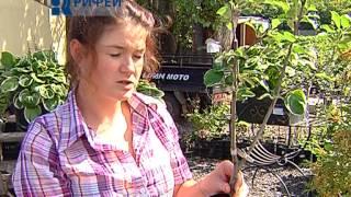 видео Плодовые деревья и ягодные кустарники в маленьком саду