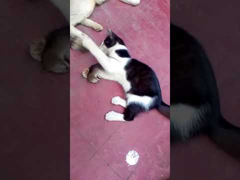 Kitten Playing with dead Mouse