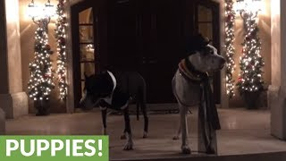 Well-dressed Great Danes celebrate New Year's Eve