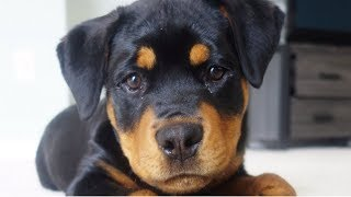 Bruno as a puppy being socialized  40