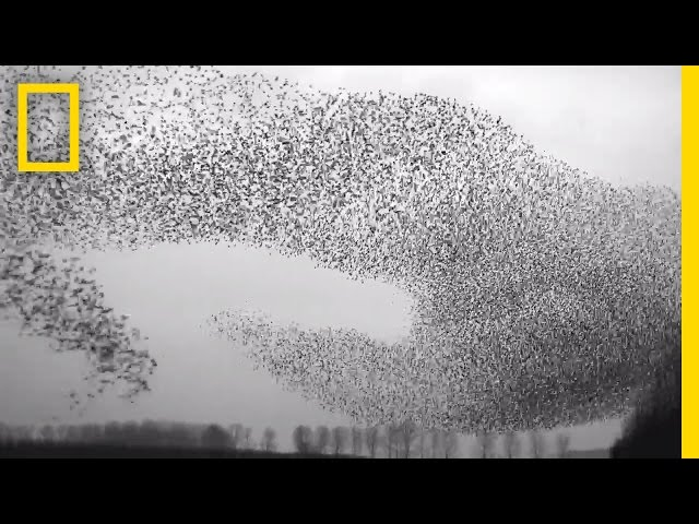 Flight of the Starlings: Watch This Eerie but Beautiful Phenomenon | Short Film Showcase