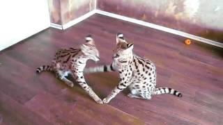 играют котята домашнего сервала