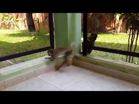 The Gambia - Seafront Residence Hotel - Monkey Visit 3