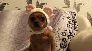 Собака в шапке) Смешная шапка для собаки) Той терьер # Забавные животные # Прикольное видео