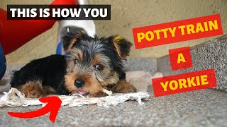 How Should you Potty Train a Yorkshire Terrier? This is the Secret Tips that No one Tells you..