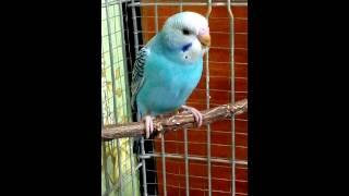 попугай рыгает зёрнами
