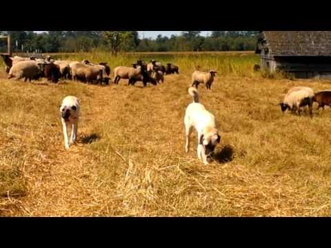 Young Livestock Guardian Dogs with their Sheep